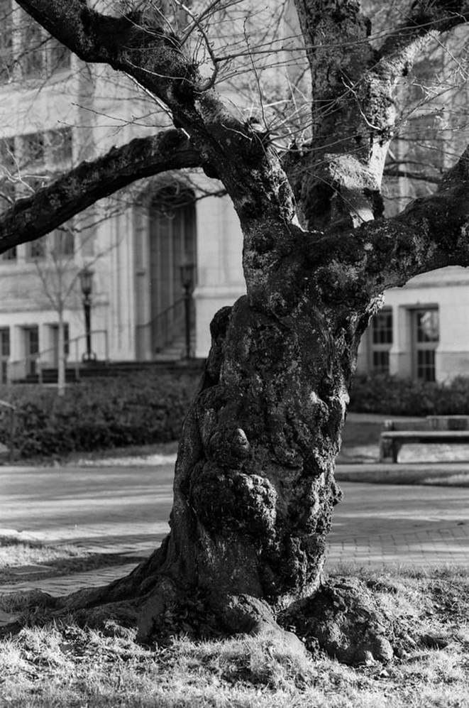 University of Washington Cherry Tree, shot on 35mm Ilford Delta 100 Film, Aaron Henry Rose, Seattle Washington (WA) December 2016
